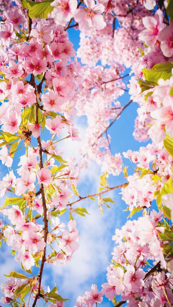 Romantic Wallpaper Full Size Romantic Nature Images Iphone Romantic Flower Phone Wallpaper Cherry Blossom Wallpaper Spring Wallpaper