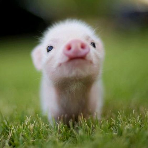 Piggy!: Cute Animal, Baby Animal, Adorable Animal