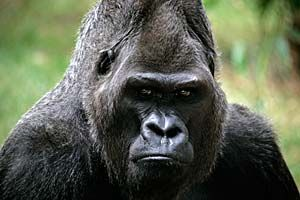 Plains Gorilla