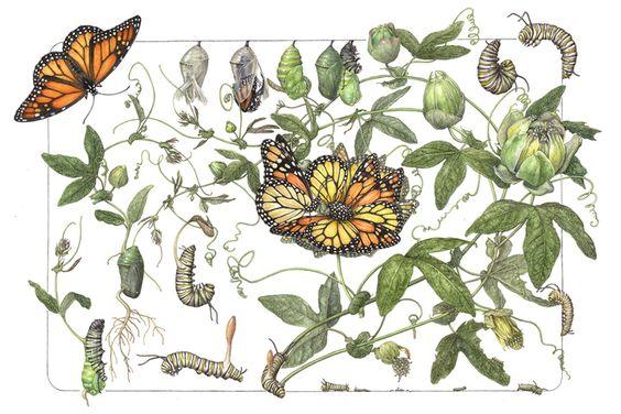 Monarch Butterfly Type B metamorphosis   Danaus plexippus Type B metamorphosis  14 x 20     watercolor on paper