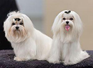Maltese (dog) - Wikipedia, the free encyclopedia