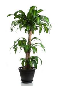 Corn plant dracaena fragrans indoor house plants common house plants plants pinterest - Good house plant ...