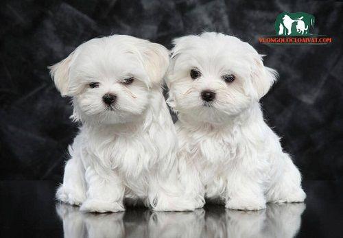 Noble Maltese Dog Price How Much Money Where To Buy Prestige