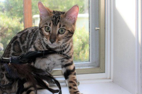 Bengal Cat Angelica Produced Here At Junglefusion Bengals In Wny Bengal Kitten Bengal Cat Breeders Kittens
