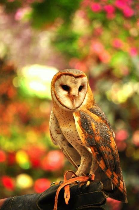 Beautiful Barn Owl <3