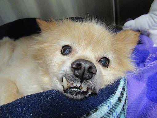 Henderson Nc Pomeranian Meet Amigo A Dog For Adoption Pets Pitbull Terrier Pets Movie