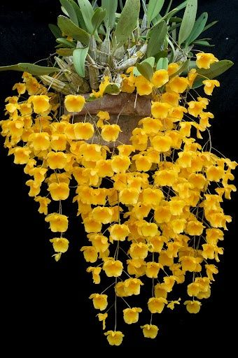 Dendrobium - 400 PX: Orchids from mainland SE Asia