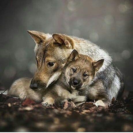 Dode wolvin was zwanger