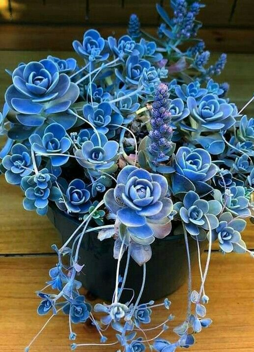 Rare Succulents Flowersandflowerthings Blue Succulents Rare Succulents Succulents