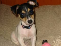 teacup rat terrier teacup rat terrier google search puppy love 7011