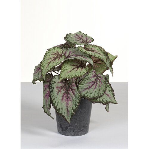 Begonia Plant In Pot The Seasonal Aisle Flower Colour Green Purple With Images Hanging Flowering Plants Plants Begonia