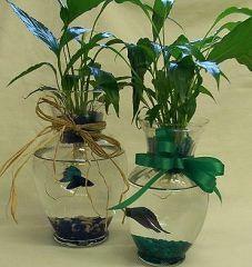 Using live plants in a vase anchor aquatic garden betta for Betta fish vase