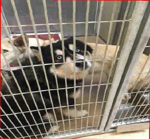 Siberian Husky Dog For Adoption In Sacramento Ca Adn 826123 On