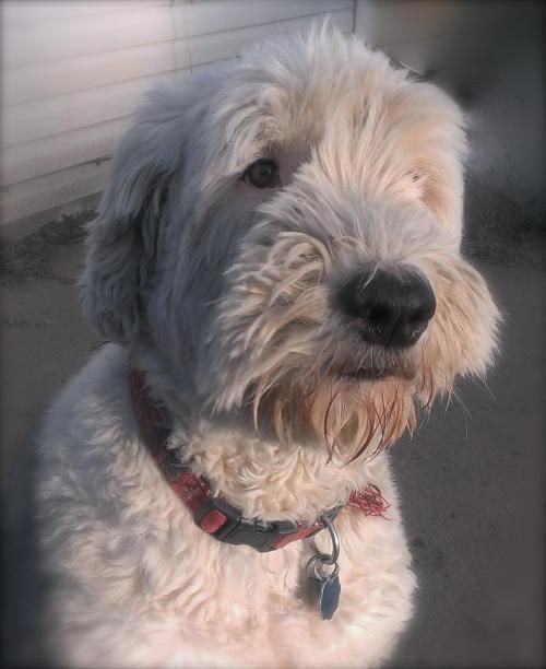 Oliver is an adoptable Old English Sheepdog Dog in Greensburg, IN Oliver is a sweet boy that loves spending time with his person.  He is potty trained, crates we ... ...Read more about me on @petfinder.com