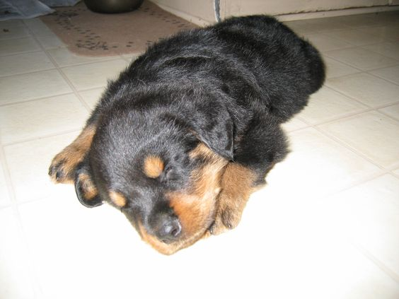 """He looks innocent in this picture, but he had a very strong personality…we nicknamed him """"little devil dog"""".  He was very different from our Labradors."""