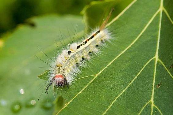 Картинки по запросу Гусеница волнянки (Orgyia leucostigma)