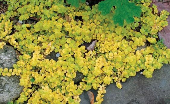 Sod alternatives golden creeping jenny but takes over for Low maintenance fall flowers