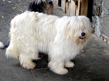 Puppys, Pictures and Sheepdog breeds on Pinterest