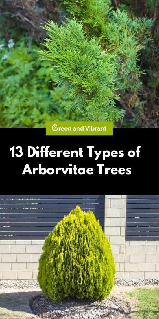 13 Different Types Of Arborvitae Trees In 2020 Arborvitae Tree Arborvitae Planting Arborvitae