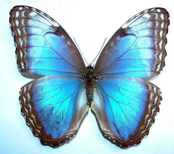 Morpho Butterfly (Helenor Faustina Female Species Butterflies Collection, Panama Insect Collection)
