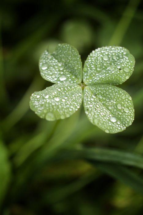 Four Leaf Clover ~ Repin for GOOD LUCK!