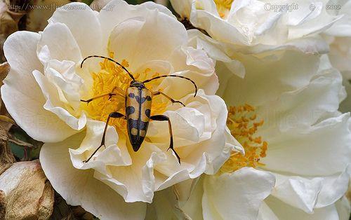 The Beetle.. love the rose..