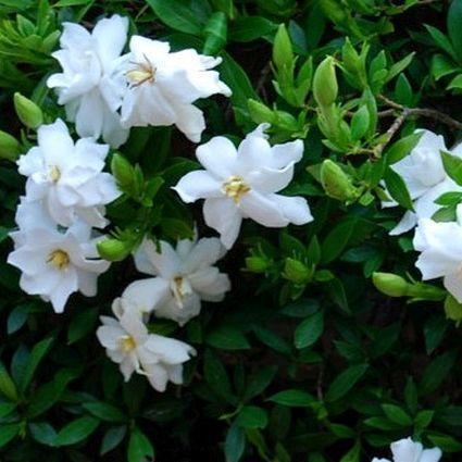 Dwarf Gardenia Radicans Dwarf Gardenia Gardenia Plant Gardenia
