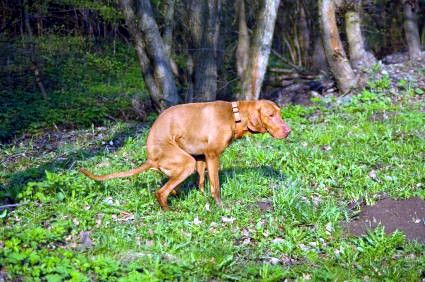 dog with diarrhea