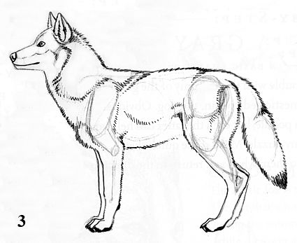 Wolf Side View Drawing Drawings Step By Artwork Text