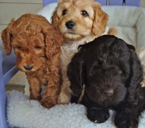 Labradoodle Puppies Labradoodle Puppies