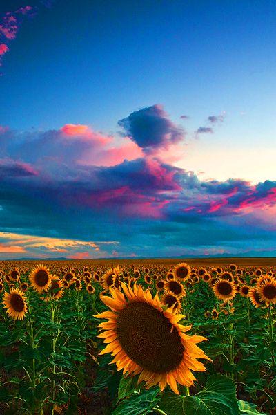 Skies Of A Summer Sunset, Sunflower fields, Colorado