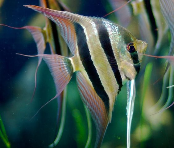 List of aquarium fish species by common name angel for Pretty freshwater fish