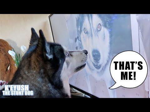 Shocked Husky Recognises Himself On Tv Youtube Husky Most