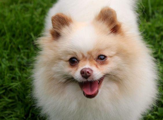 Beaver Merle Parti Pomeranian | One Love Poms | Buy me ...