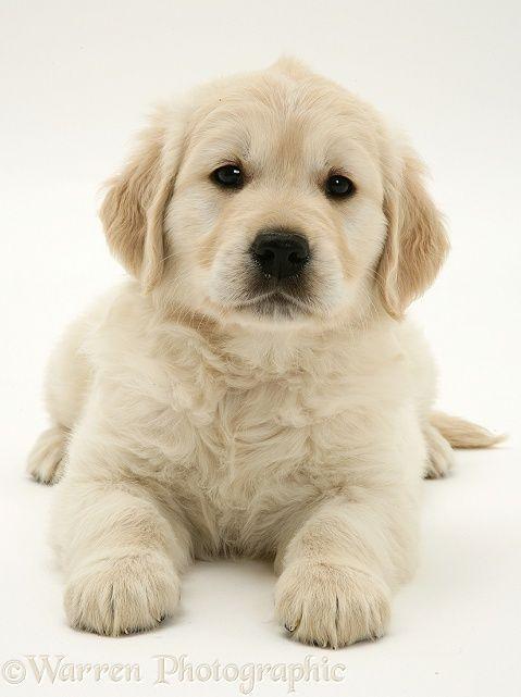 Golden Retriever Puppy Goldenretriever Puppies Golden