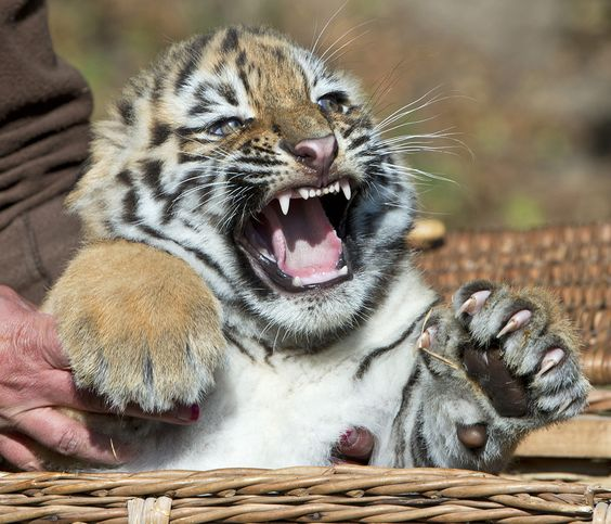 A zookeeper holds a Amur tiger cub, also known as the Siberian tiger, during weighing in the Leipzig Zoo in Leipzig, Germany, Sept. 20, 2012. (AP Photo/Jens Meyer)