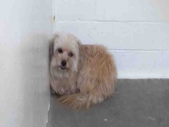 07/27/2016 SUPER URGENT - ADOPT LOLLIE, TO BE DESTROYED 5 YEARS OLD, FEMALE TERRIER MIX BREED DOG, SHE IS HUDDLED UP BY THE WALL IN THE KILL SHELTER, PLEASE SHARE TO SAVE HER LIFE, Carson Shelter LA.