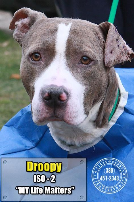 26 Droopy is an adoptable Pit Bull Terrier searching for a
