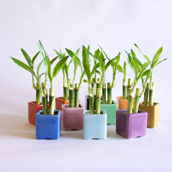 bunch of lucky or friendship plants in small plastic planters