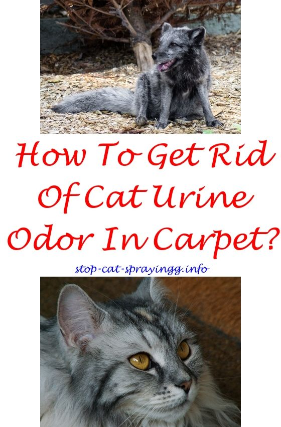 Cat Spraying Urine On Walls Scratching Furniture Spray Homemade Orange Essential Oil Plant Cats How To Stop