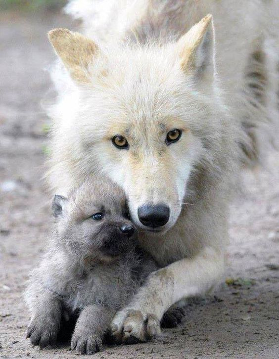 momma wolf and pup