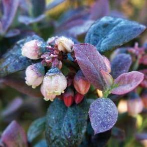 BrazelBerry® Pink Icing™ Blueberry - BrazelBerry® Blueberry Pink Icing™ | Bylands Nurseries Ltd.