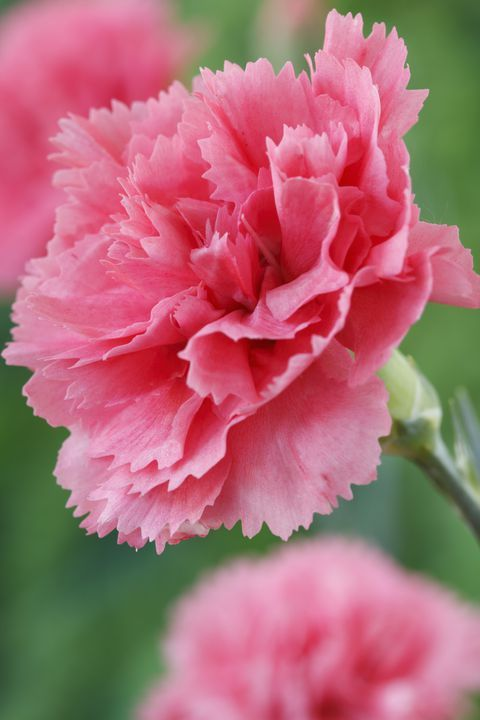 Plant These Pretty Pink Flowers For The Most Enchanting Garden Ever Carnation Flower Pink Flowers Pink Carnations