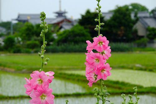 Early summer at Nishinokyo 西ノ京