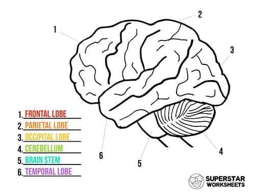 Human Brain Worksheets Superstar Worksheets Human Brain Human Body Videos Biology Worksheet