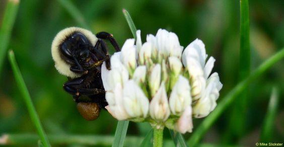 Bumblebee on Little Wildflower