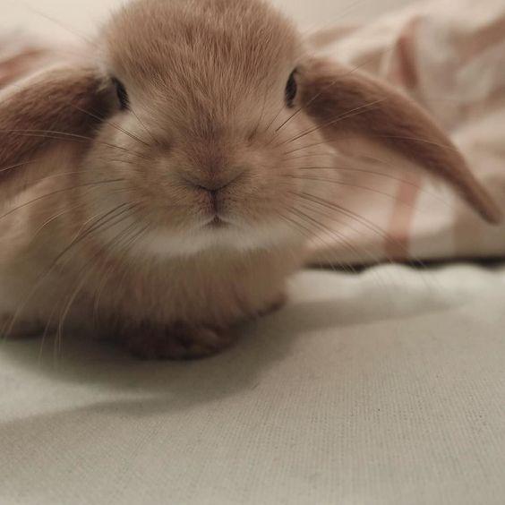 (ヘᴥヘ) #canberra #australia #aurabbit #minilopau #minilops #bunnyofinsta #bunstagram #rabbits #rabbit #buns #lunatheminilop #rabbitsofinstagram #bunnylove #bunnygram #brownrabbit #easterbunny #easter #hayeater by lunatheminilop