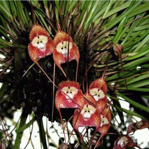 Monkey orchids ;)