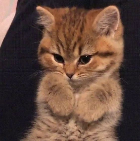 Animal Pet Cat Family Member Kitten Pet Cats Photography Cute Cat Obese Cat Tabby Cat Shorthair Cat Longhair Cat Persian ส ตว เล ยง ร ปส ตว ขำๆ ล กแมว