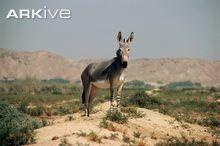 Burro selvagem somaliano